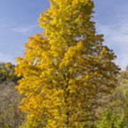 Yellow Maple Tree 1 Poster