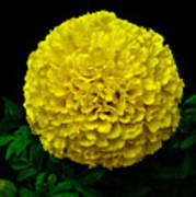 Yellow Marigold Flower On Black Background Poster