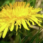 Yellow Mountain Flower's Petals Poster
