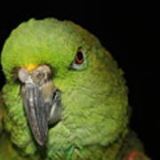 Yellow-naped Amazon Parrot Poster