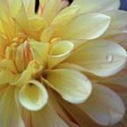 Yellow Petals With Raindrop Poster