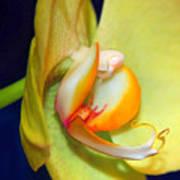 Yellow Phaelanopsis Poster