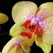 Yellow Phalaenopsis Orchid Poster