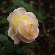 Yellow/pink Rose Poster