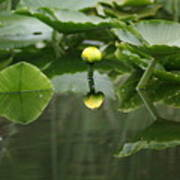 Yellow Pond Lily Poster