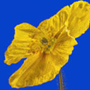 Yellow Poppy On Blue Background Poster
