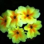 Yellow Primrose 5-25-09 Poster