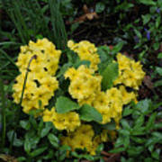 Yellow primrose Poster