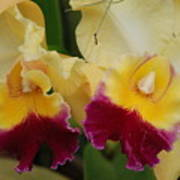 Yellow Purple Orchids Poster