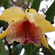Yellow Red Orchid Poster