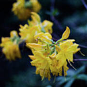 Yellow Rhododendron Flower Poster