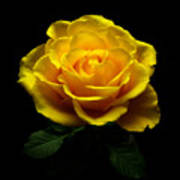 Yellow Rose 4 Poster