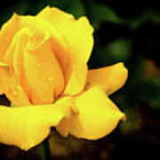 Yellow Rose - After The Rain Poster