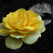 Yellow Rose In Bloom Poster
