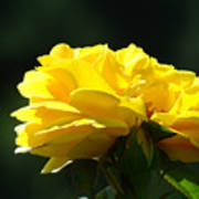 Yellow Rose Sunlit Rose Garden Landscape Art Baslee Troutman  Poster