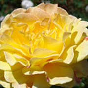 Yellow Rose Sunlit Summer Roses Flowers Art Prints Baslee Troutman Poster