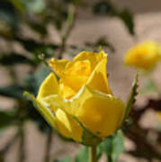 Yellow Rose With Ants Poster