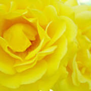 Yellow Roses Art Prints Botanical Giclee Prints Baslee Troutman Poster
