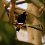 Yellow-rumped Cacique 3 Poster