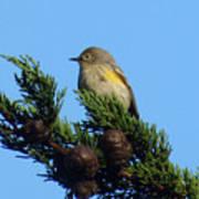 Yellow-rumped Warbler On Cedar Bough Poster