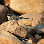 Yellow Rumped Warbler On River Rocks Poster