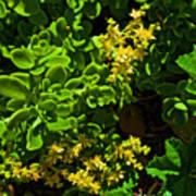 Yellow Sedum At Pilgrim Place In Claremont-california Poster