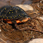 Yellow-spotted Turtle Crawling Through Wetland Poster