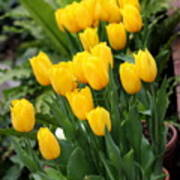 Yellow Spring Tulips Poster