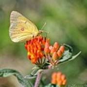 Yellow Sulphur Butterfly Poster