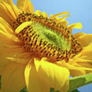 Yellow Sunflower Blue Sky Art Prints Baslee Troutman Poster