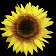 Yellow Sunflower Isolated On Black Background 8 Poster