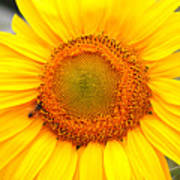 Yellow Sunflower With Bee Poster