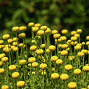 Yellow Tansy Poster