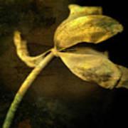 Yellow Tulip Poster by Bernard Jaubert