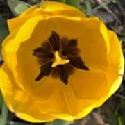 Yellow Tulip Head     Spring   Indiana Poster