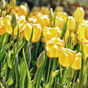 Yellow Tulip Panoramic Poster