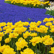 Yellow Tulips And Blue Muscari In Dutch Garden Poster