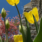 Yellow Tulips By Stone Church Poster