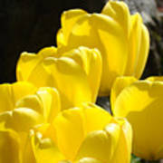 Yellow Tulips Floral Art Prints Nature Garden Poster