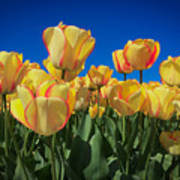 Yellow Tulips With An Orange Flare Poster
