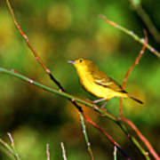 Yellow Warbler Galapagos Islands Poster