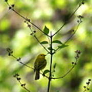 Yellow Warbler In A Tree 2 Poster