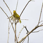 Yellow Warbler In Flight Poster