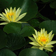 Yellow Water Lilies Poster