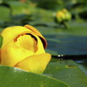 Yellow Water Lily Poster