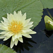 Yellow Water Lily With Bud Nymphaea Poster by Heiko Koehrer-Wagner