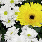 Yellow White Flowers Poster