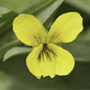 Yellow Wild Violet Poster