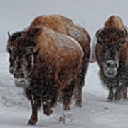 Yellowstone Bison Poster