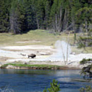 Yellowstone Park Bison In August Poster